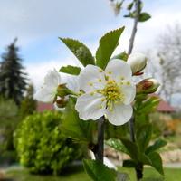 Wiśnia,kwitnie w moim ogrodzie