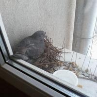 Światowy Dzień Gołębia