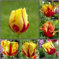 Wiosenne kwiaty-tulipany