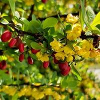 wiosenno - jesienny berberys :)