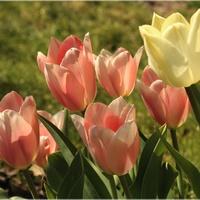 Zeszłoroczne tulipanki...