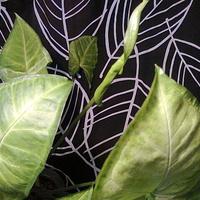 Zroślicha nowy liść się rozwija