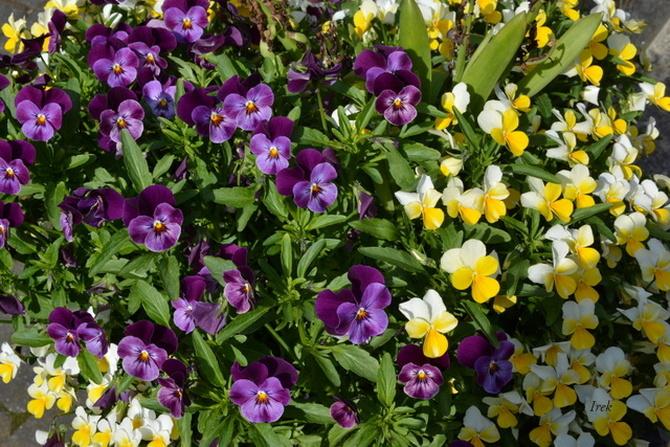 drobne kwiatki bratki