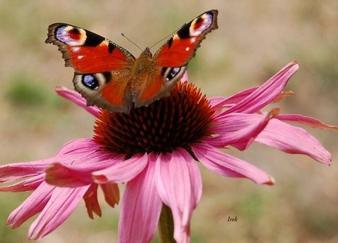 jeżówka i motyl