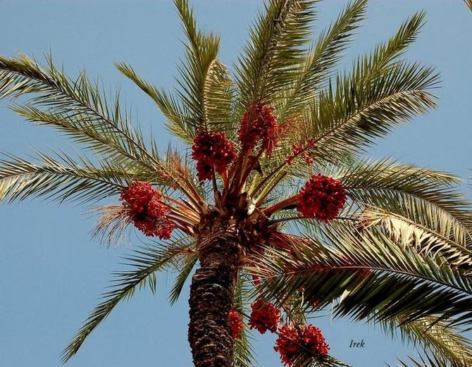 Już niedługo takie palmy będą rosły u nas...