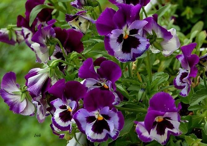 kwiatki bratki w ciemnym kolorze