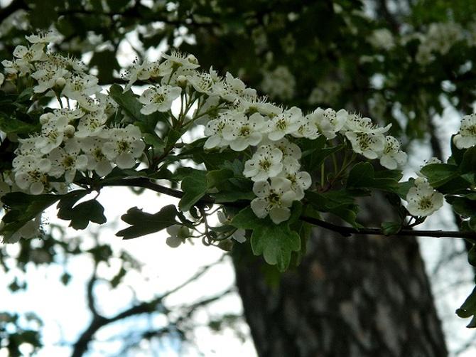 Kwiatki głogu:)