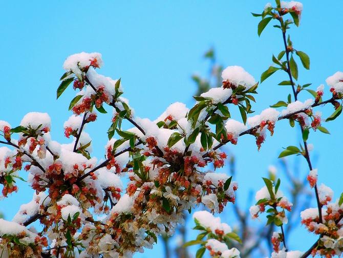 kwitnące drzewa ......