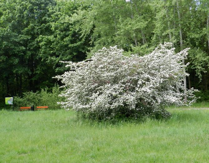 Kwitnące krzewy-głóg