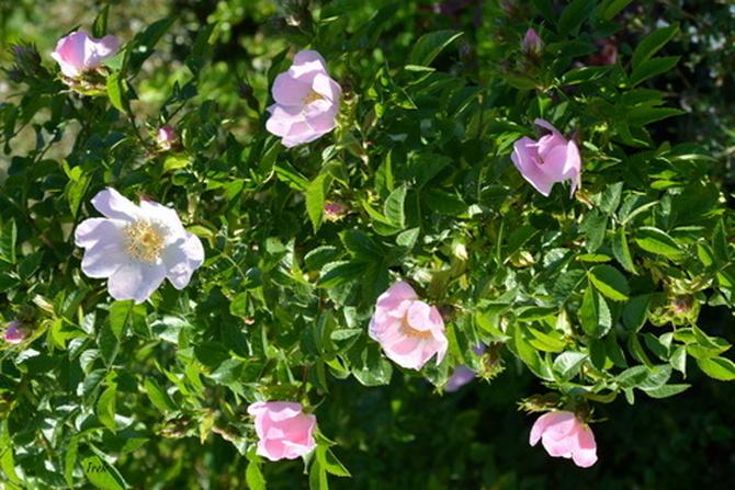 kwitną już róże