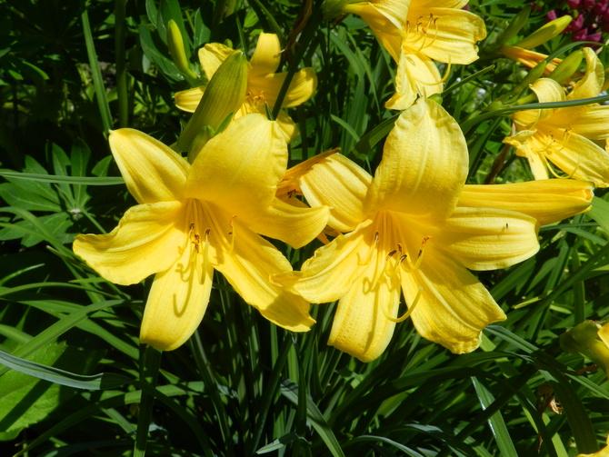Kwitną liliowce