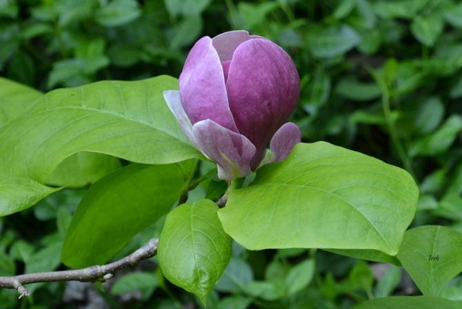 magnolia kwiat z 15 maja