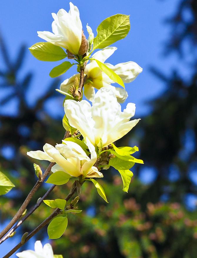 magnolia.....