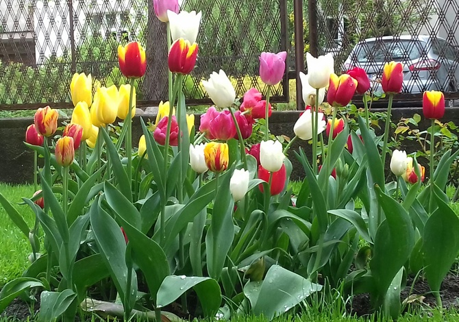 Moje tulipany !!