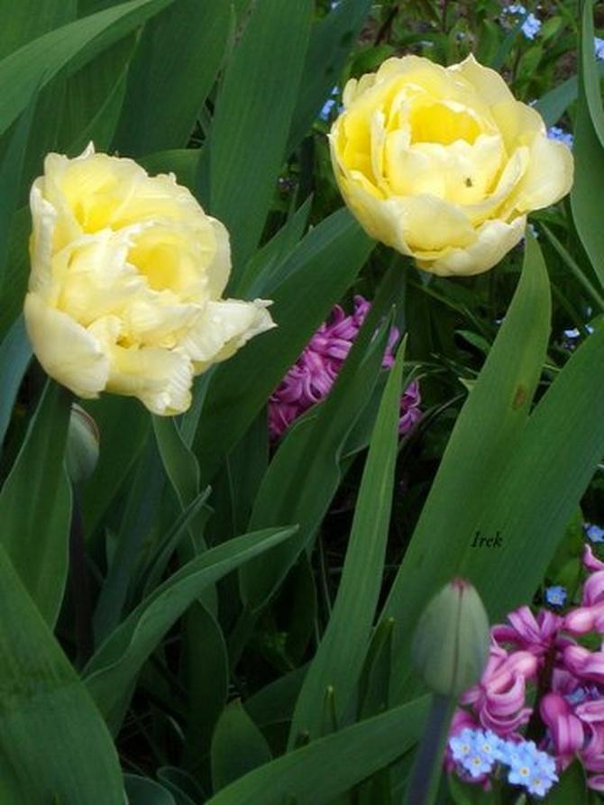 nieśmiałe tulipany