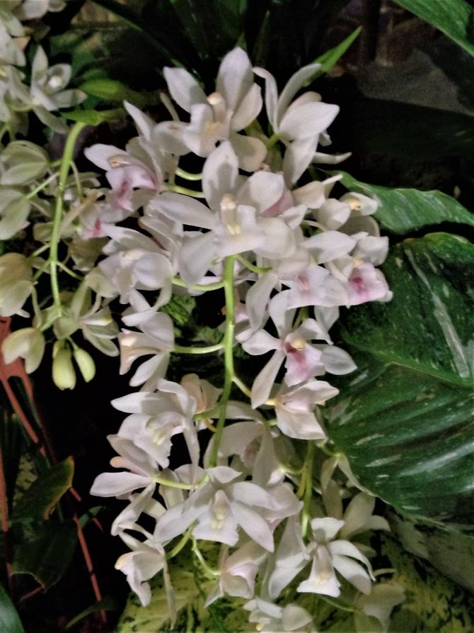 Oncidium drobnokwiatowe .  Makro .