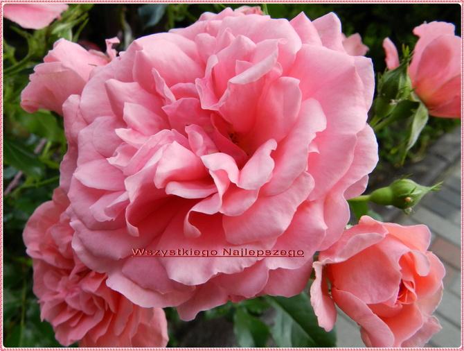 Róże dla Iwonki