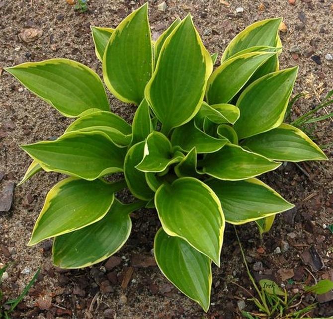 Roślina o bardzo ładnych liściach.