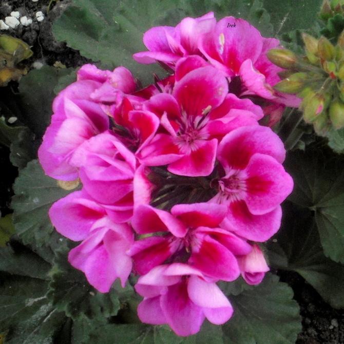 różowa pelargonia