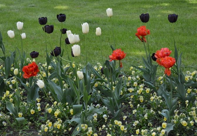Rosną jeszcze tulipany