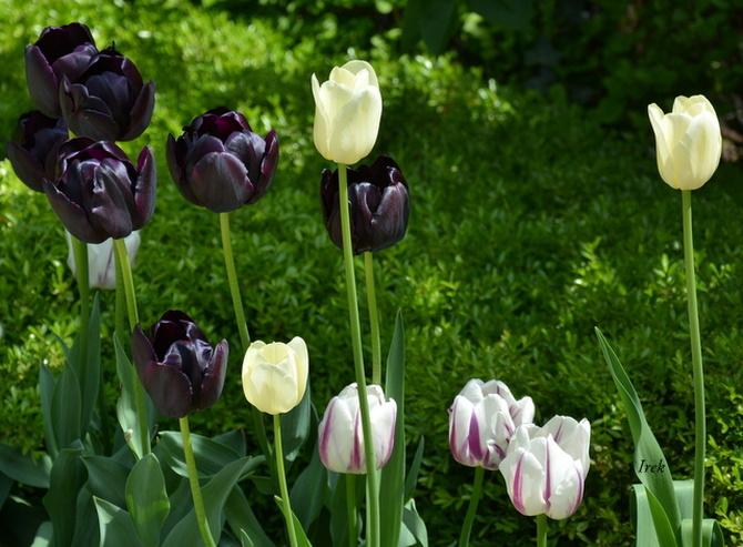 tulipany jeszcze nie więdną