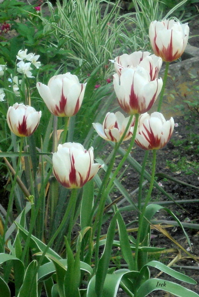 tulipany na moim osiedlu