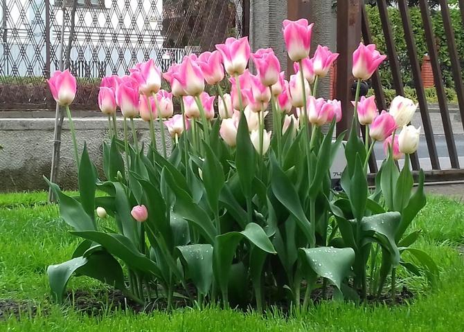 Tulipki o nazwie