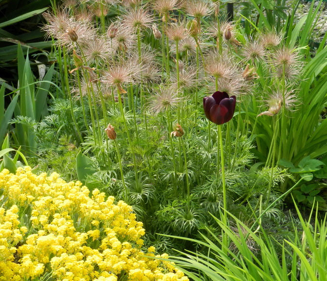 W ogrodzie samotny tulipan