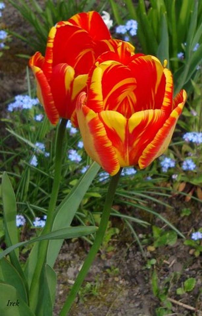 Zaczynają zanikać tulipany
