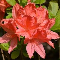 azalia, kwiat