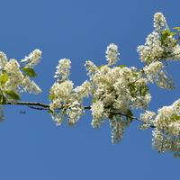 Biała gałązka drzewa kwitnącego