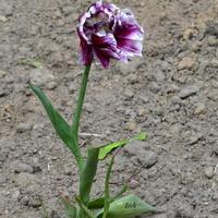 biedny, opuszczony tulipan
