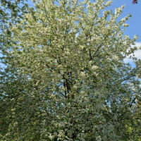 Drzewo całe w białych kwiatach