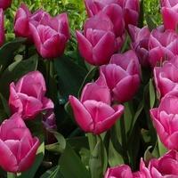 eleganckie tulipany