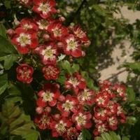 Głogowe kwiatuszki