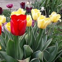 I jeszcze nieco tulipanów.