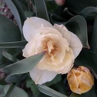 I jeszcze taki tulipancio.