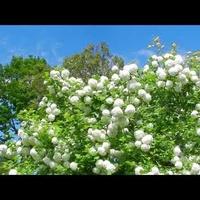 Kalina koralowa,białe kule