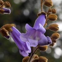 Kwiat paulowni