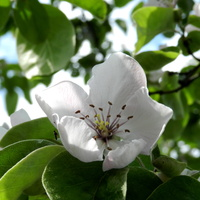 Kwiat pigwy gruszkowej