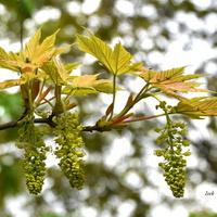 kwiatostan i młode liście