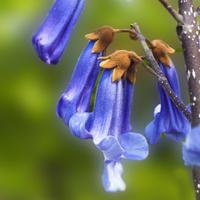 Kwiaty paulowni