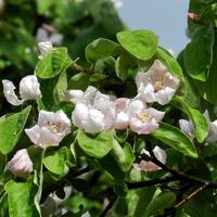 Kwiaty pigwy gruszkowej