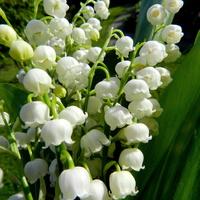 Majowe kwiaty,konwalie