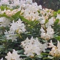Mój drugi rododendron