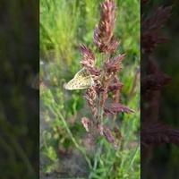 Motyl w trawach .......