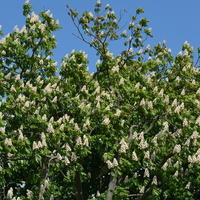 Obficie kwitnący kasztanowiec