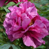 piwonia drzewiasta różowa