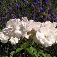 prawie białe róże