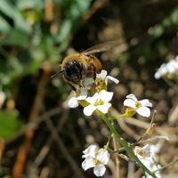 Pszczoła w połowie kwietnia......